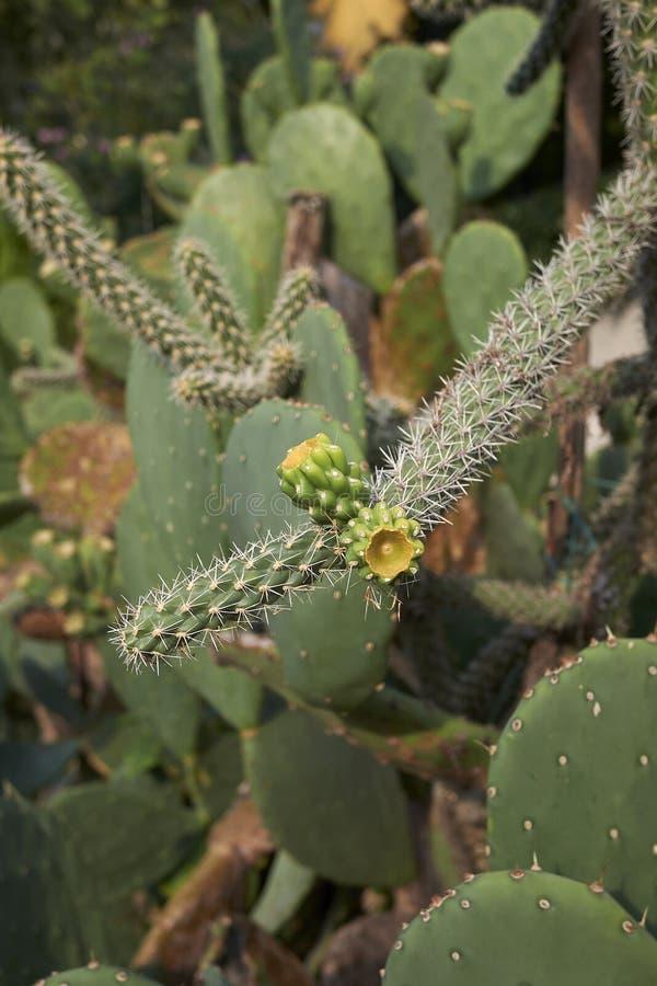 Cylindropuntia imbricata spiny gałąź zdjęcia stock