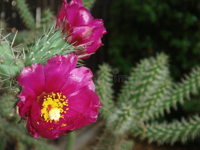 Cylindropuntia imbricata z magenta kwiatem zdjęcia royalty free