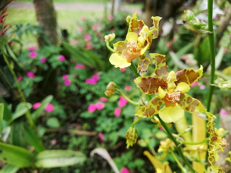Cymbidiu Orchid Fiori Magic Blooming nei tropici Giardini speciali fotografie stock libere da diritti