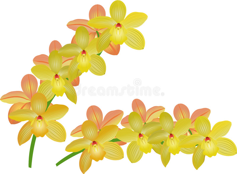Cymbidium illustration stock