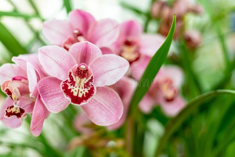 Cymbidium dell'orchidea della barca di rossi carmini immagine stock