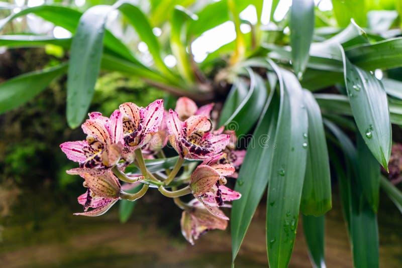 Cymbidium dell'orchidea della barca di rossi carmini Un primo piano fiorisce con il fondo molle del bokeh del fuoco selettivo fotografie stock libere da diritti