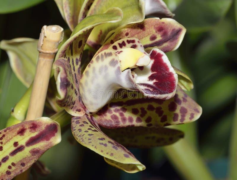 Cymbidium Harriet Ishitani Orchid photo libre de droits