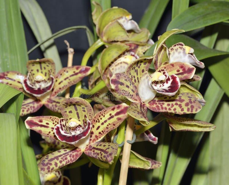 Cymbidium Harriet Ishitani Orchid photographie stock libre de droits