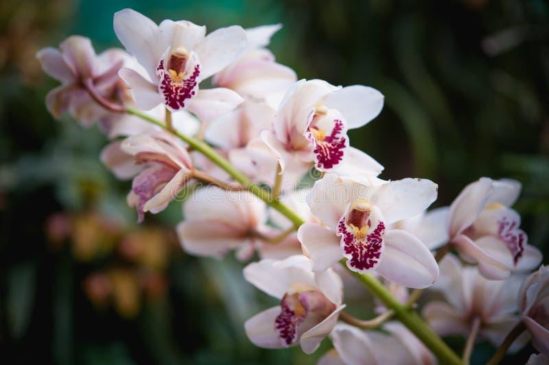 Cymbidium insigne orchidea w Tajlandia fotografia royalty free