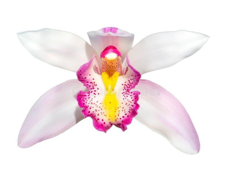 Cymbidium kwiatu storczykowa głowa odizolowywająca obraz royalty free