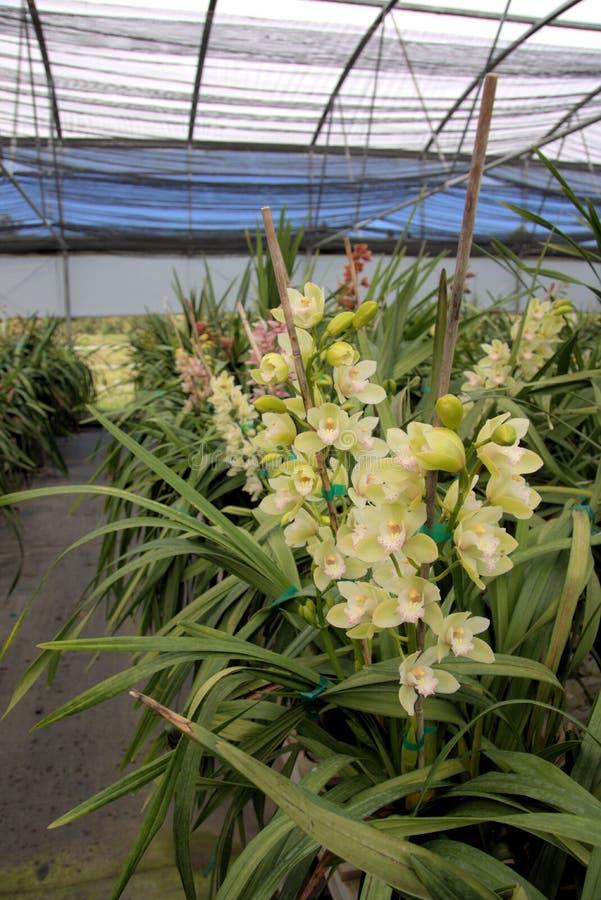 Cymbidium orchid farm