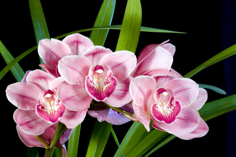Cymbidium-Orchideen stockbilder