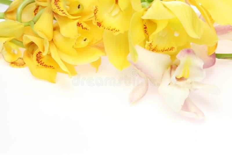 Cymbidium w białym tle zdjęcia royalty free