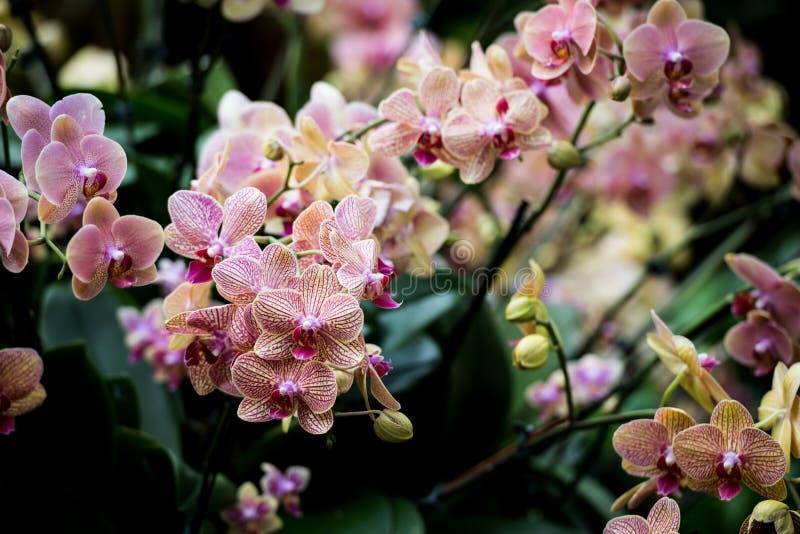 Cymbidiumorchideeën stock afbeelding