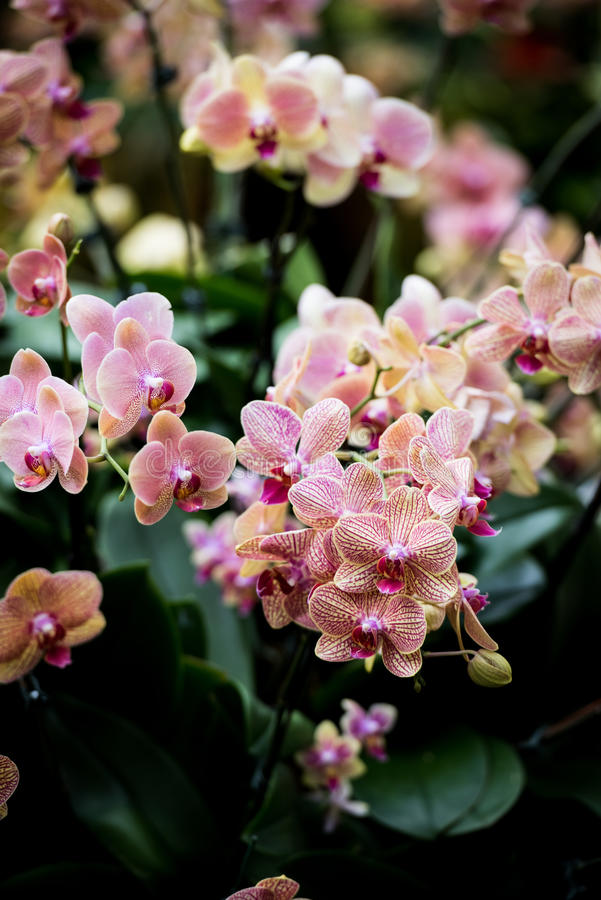 Cymbidiumorchideeën stock fotografie