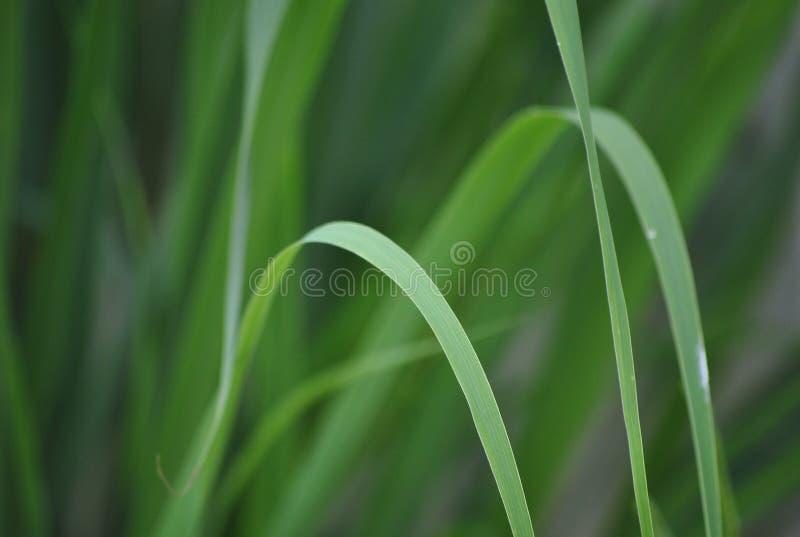 cymbopogon fotos de archivo