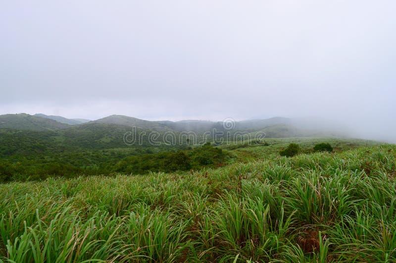 Cymbopogon - citronella, pianta e colline - punto di suicidio in Mooppanpara, Vagamon, Kerala - sfondo naturale fotografia stock