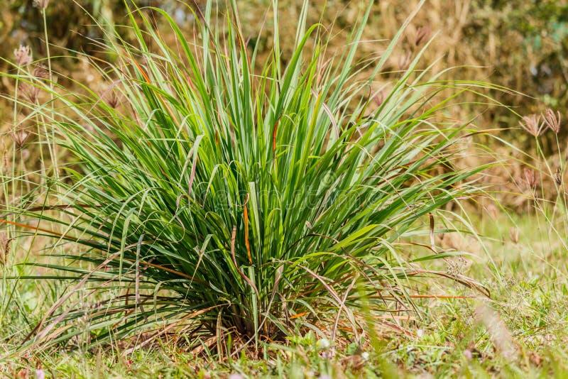 Cymbopogon del Cymbopogon, citronela en tierra trasera natural fotografía de archivo