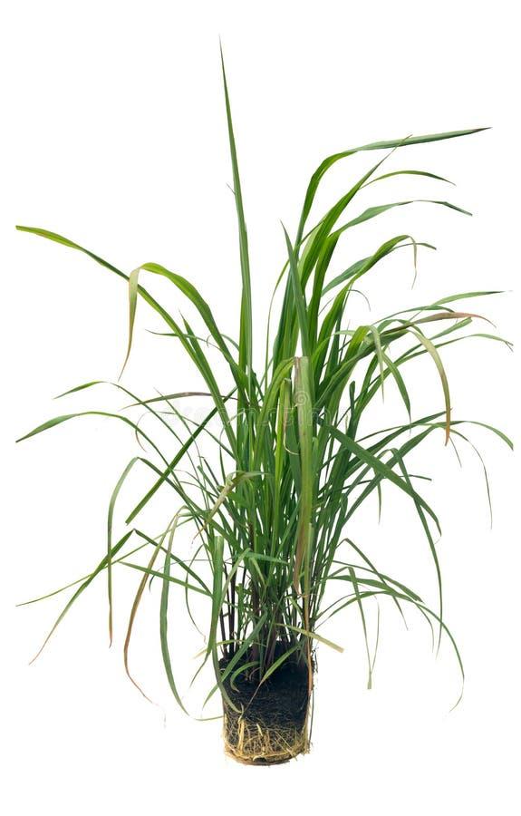 Cymbopogon, lemongrass Απομονωμένος στο άσπρο backg στοκ φωτογραφίες