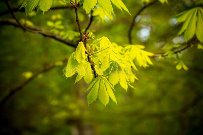 Cynaderki z liśćmi na cisawym drzewie w springÑŽ natury tle kosmos kopii obrazy royalty free