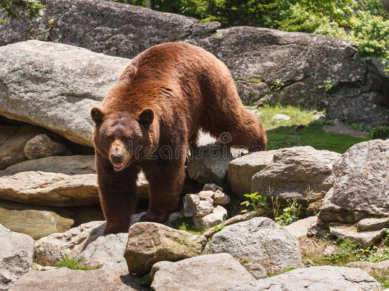 Cynamonowy Brown niedźwiedź Pólnocna Karolina Blue Ridge Mountains zdjęcie stock