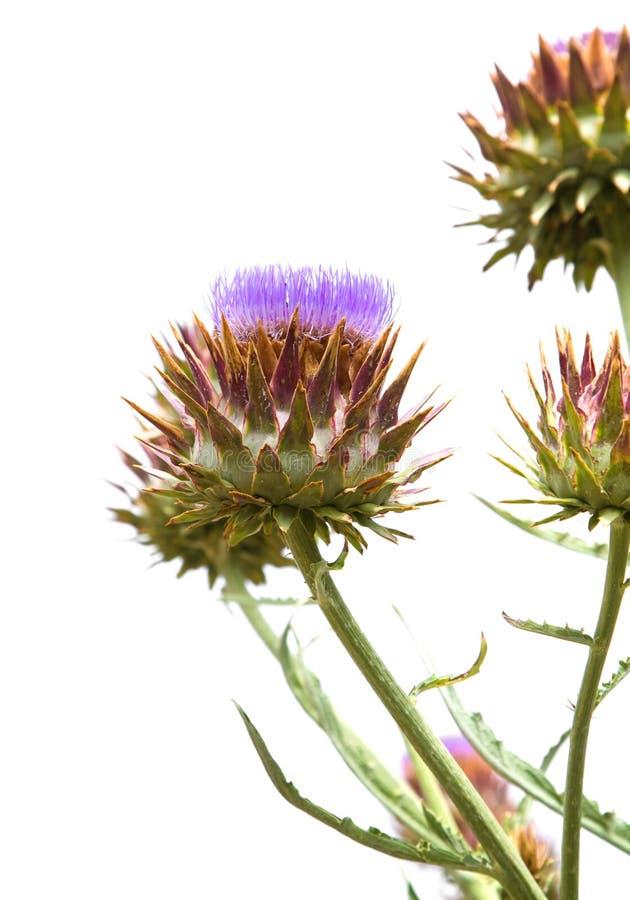 cynara cardunculus στοκ εικόνα