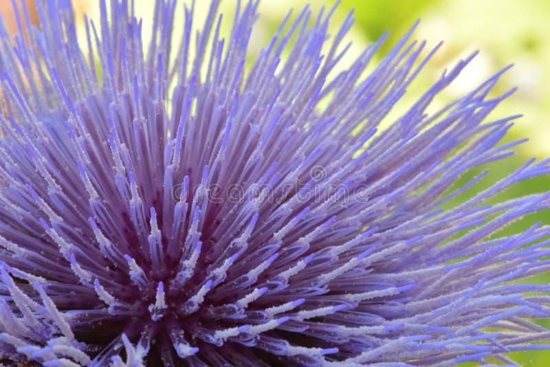 Cynara da flor da alcachofra fotos de stock