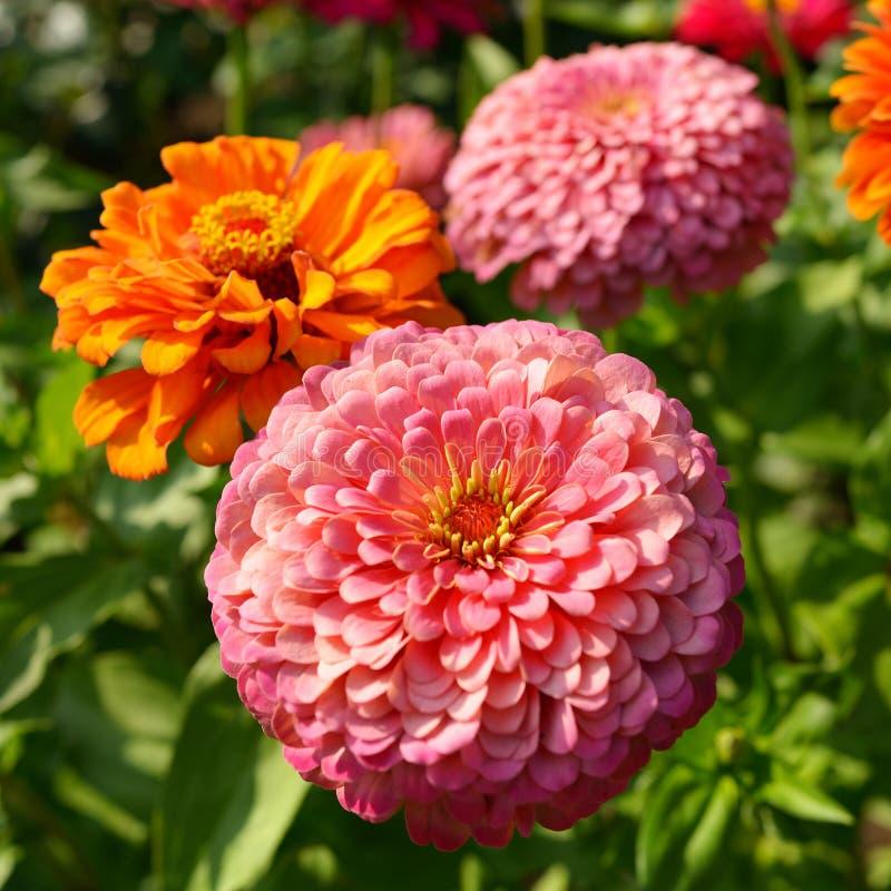 Cynia kwiatów zbliżenie zdjęcie stock