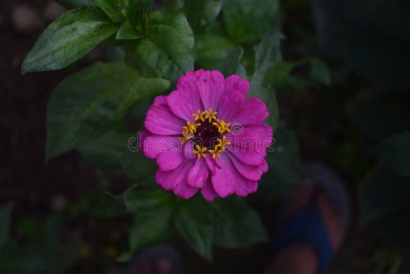 Cynia kwiat w ogr?dzie zdjęcie stock