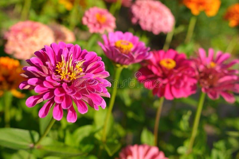 Cynia kwiaty fotografia stock
