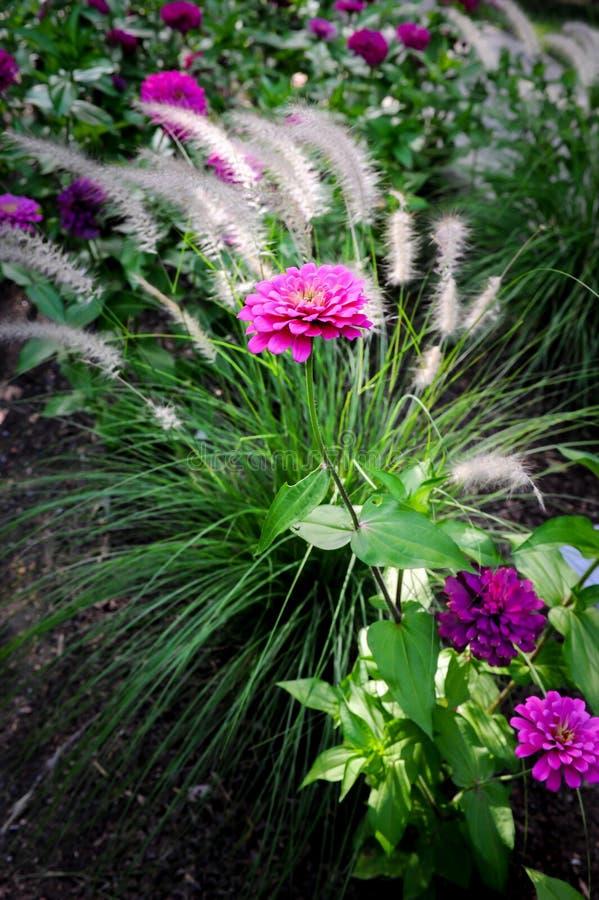 Cynia ogródu kwiaty obraz royalty free