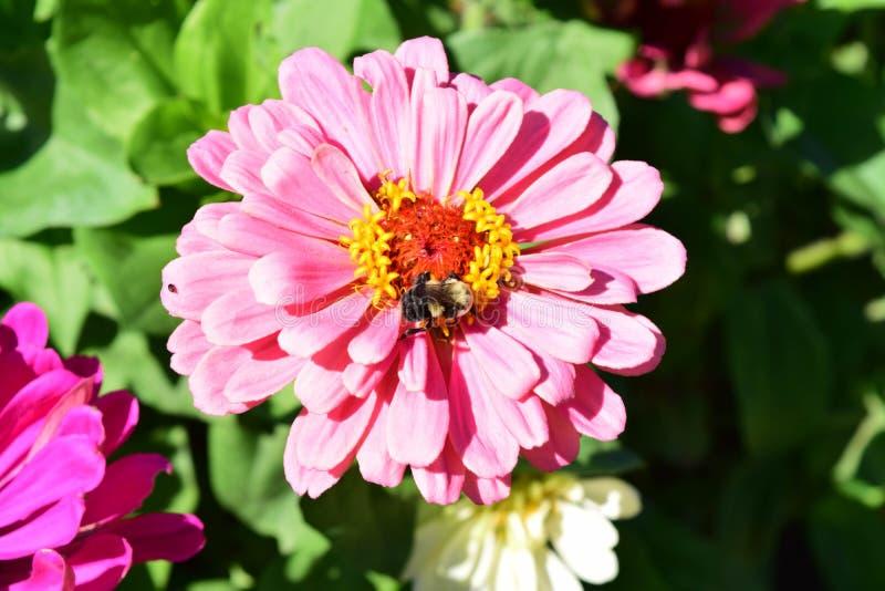 Cynie i pszczoła zdjęcie stock