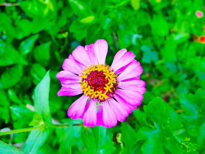 Cynie są genus rośliny zdjęcie royalty free
