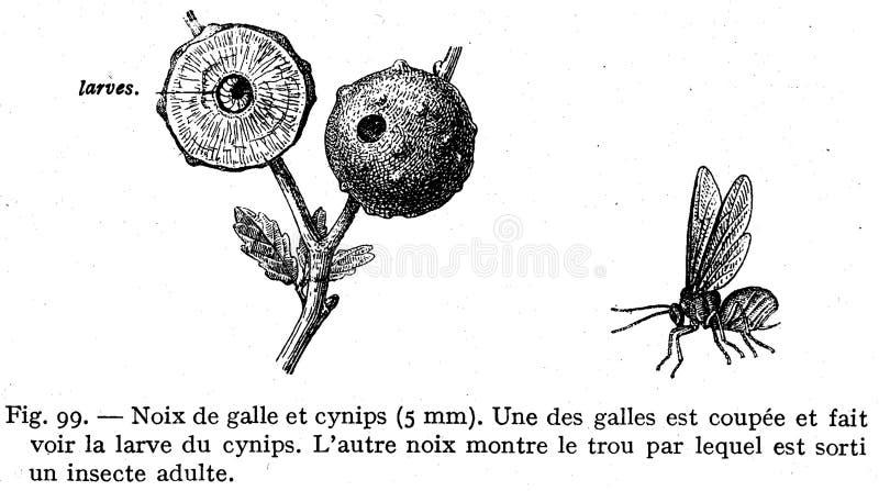 Cynips Et Galle Free Public Domain Cc0 Image
