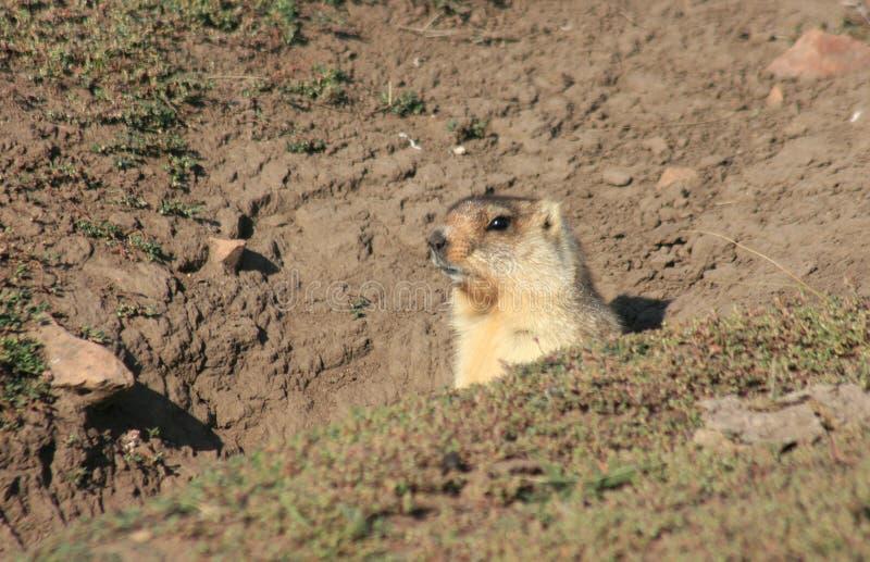 Cynomys (crabot de prairie), groundhog, Gopher photos stock