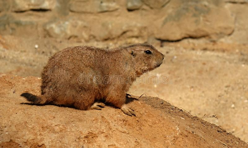 Cynomys ludovicianus on a rock royalty free stock photography