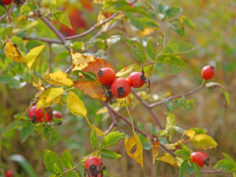 Download Cynorrhodons (canina De Rosa) Photo stock - Image du culs, automne: 45371482
