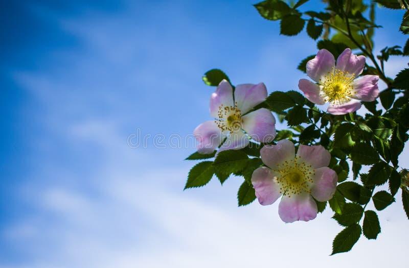 Cynorrhodons de floraison de belle fleur contre le ciel bleu photo libre de droits