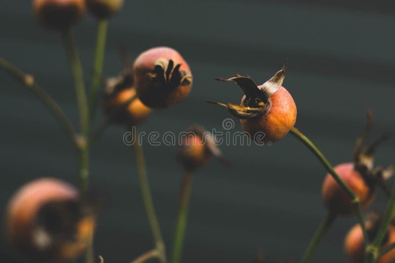 Cynorrhodons oranges d'automne images libres de droits