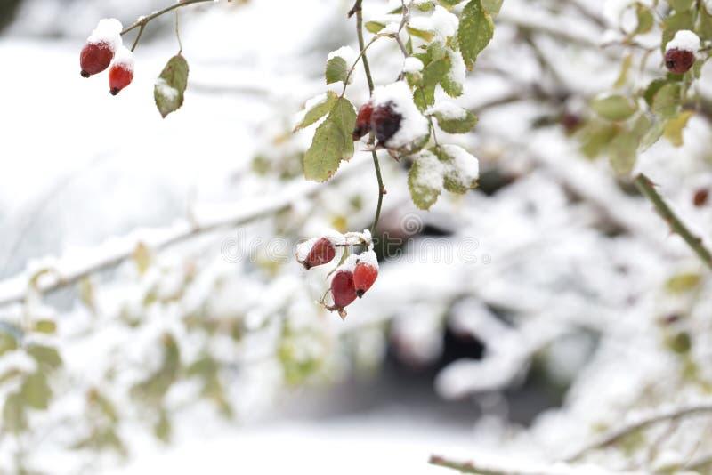Cynorrhodons rouges givrés en hiver Les baies rouges d'un cynorrhodon pendant l'hiver dans la neige image libre de droits