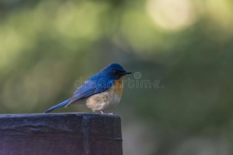 Cyornis tickelliae or Tickell`s blue flycatcher stock image