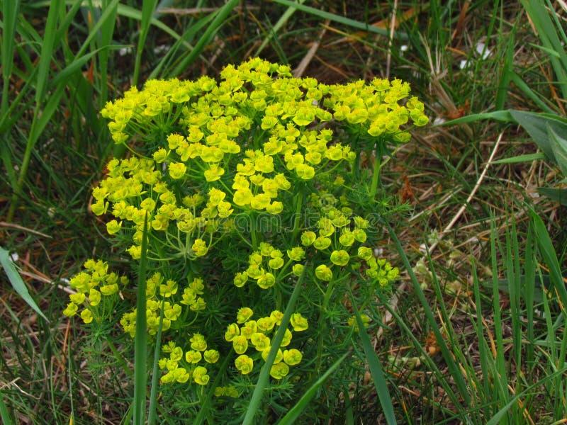 Cyparissias del euforbio, spurge ingl?s del cipr?s, planta venenosa floreciente amarilla fotos de archivo libres de regalías