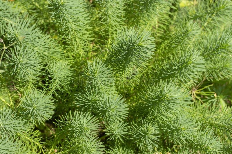 Cyparissias dell'euforbia, germogli verdi con gli aghi Insegna decorativa della carta da parati del fondo dell'erba fotografia stock