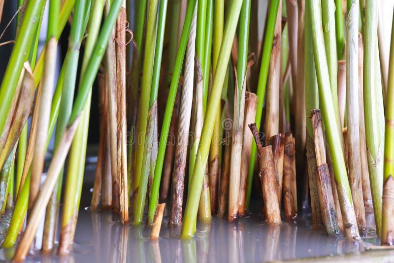 Cyperus alternifolius stock photo