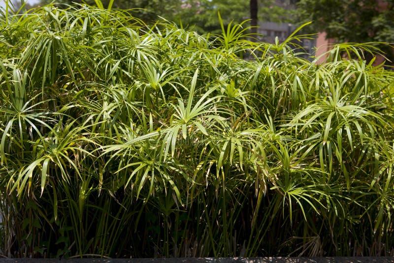 cyperus papirus zdjęcia royalty free