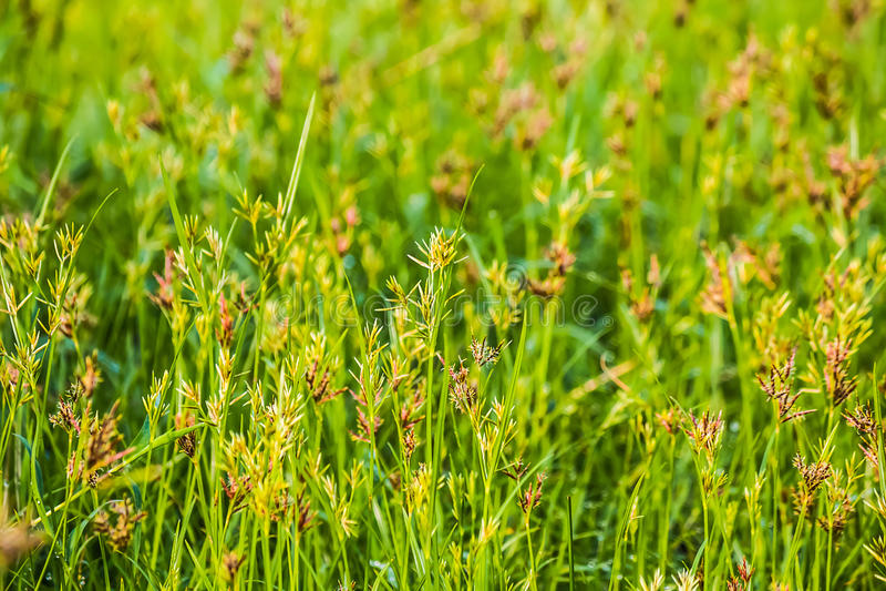 Cyperus rotundus kwiaty zdjęcie stock