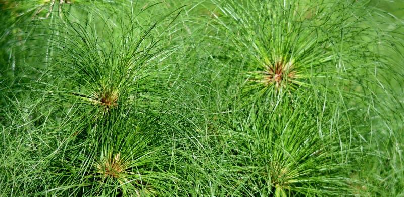 Cyperuspapyrusgras stockfotos