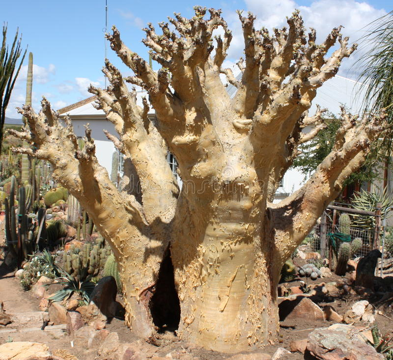 Cyphostemma juttae (纳米比亚葡萄)土产南非多汁植物 库存图片