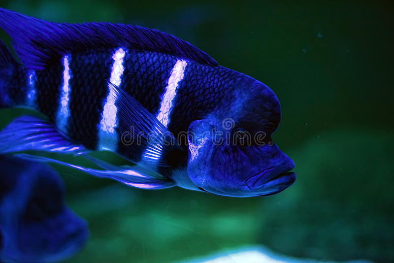 Cyphotilapia frontosa royalty free stock photography