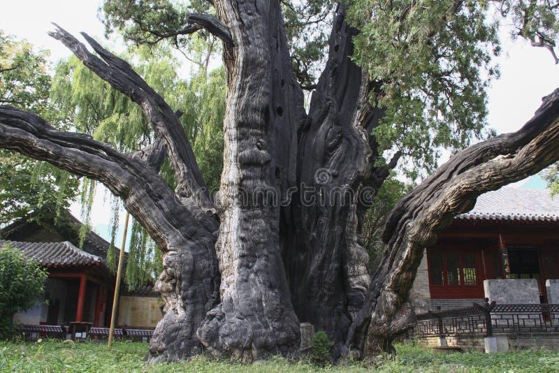 Cyprès de 4.500 ans dans l'académie de Songyang, Chine centrale photo libre de droits