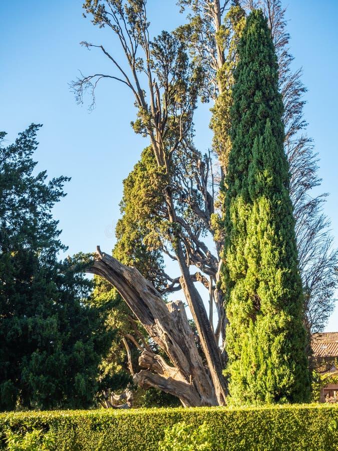"""Cyprès vert mince à côté d'un tronc d'arbre sec dans le jardin à la villa D """"Este dans Tivoli, Italie photographie stock"""