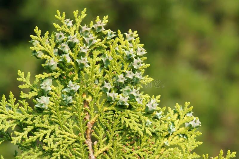 cypress foto de stock royalty free