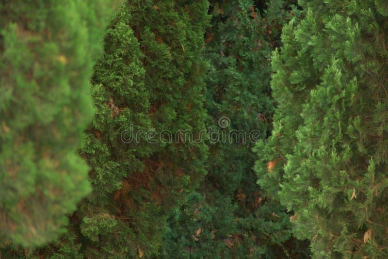 Cypress photo stock