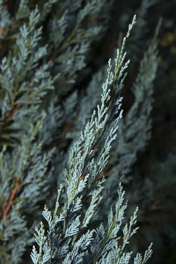 Cypress blu 1 immagini stock